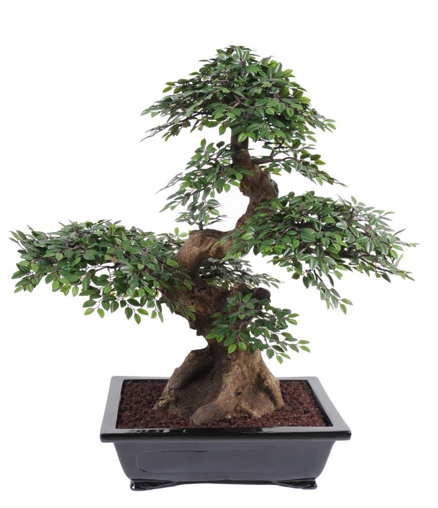 L art du bonsa plantes et d co for Entretien bonsai interieur