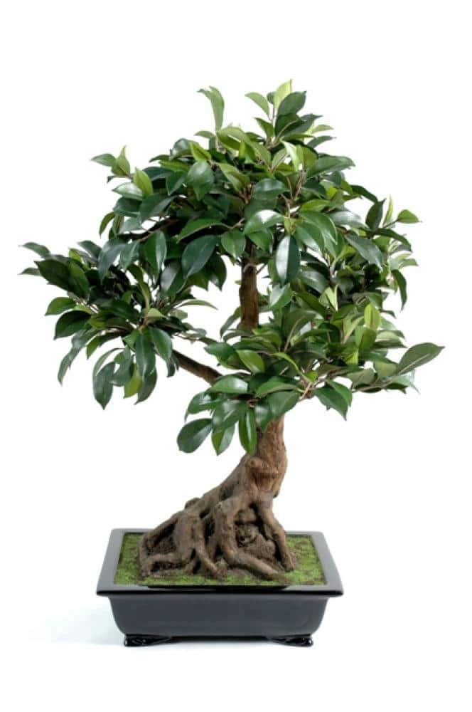 Bonsai plante for Entretien bonsai interieur