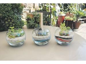 L'arrosage des plantes succulentes