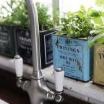 plantes aromatiques cuisine plantées dans ubne boite de thé