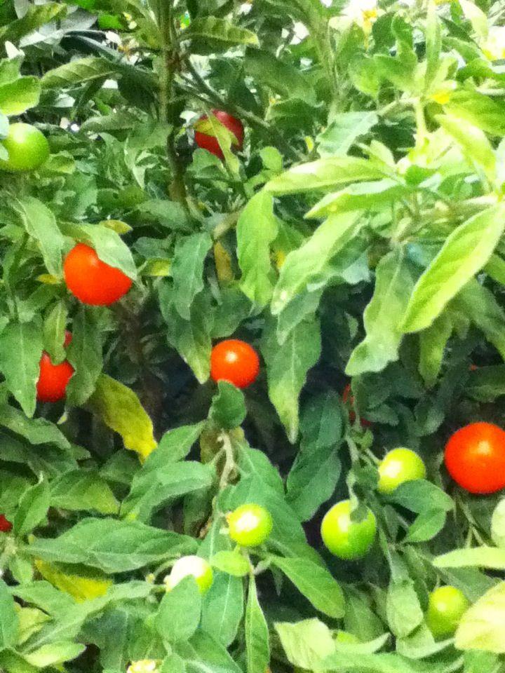 D co avec des plantes archives plantes et d co plantes - Pommier d amour entretien ...