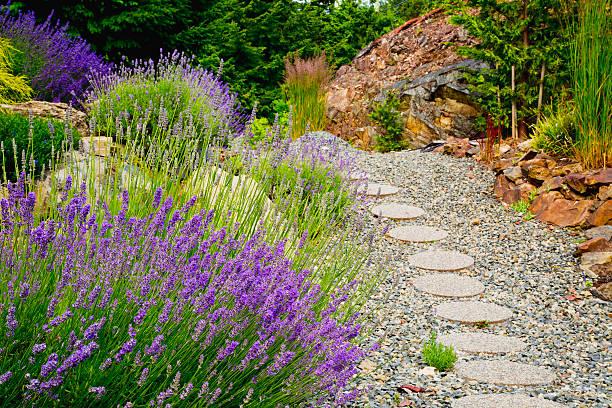 Lavande plantée le long d'allées pavés dans un jardin de rocaille
