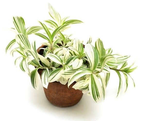 tradescantia-plante-cuisine