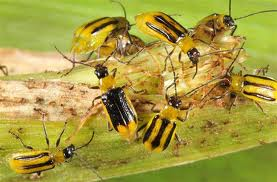 insectes ravageurs