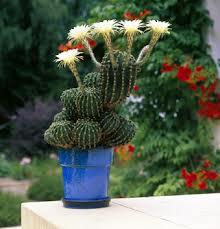 rempotage plantes succulentes